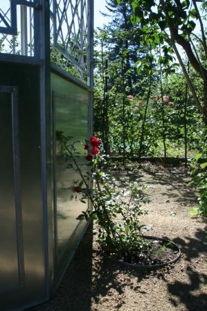 """Bild """"Tagebuch 2012-08-18 Kletterrose Momo.jpg"""""""